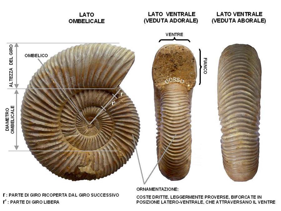 datazione conchiglie fossili